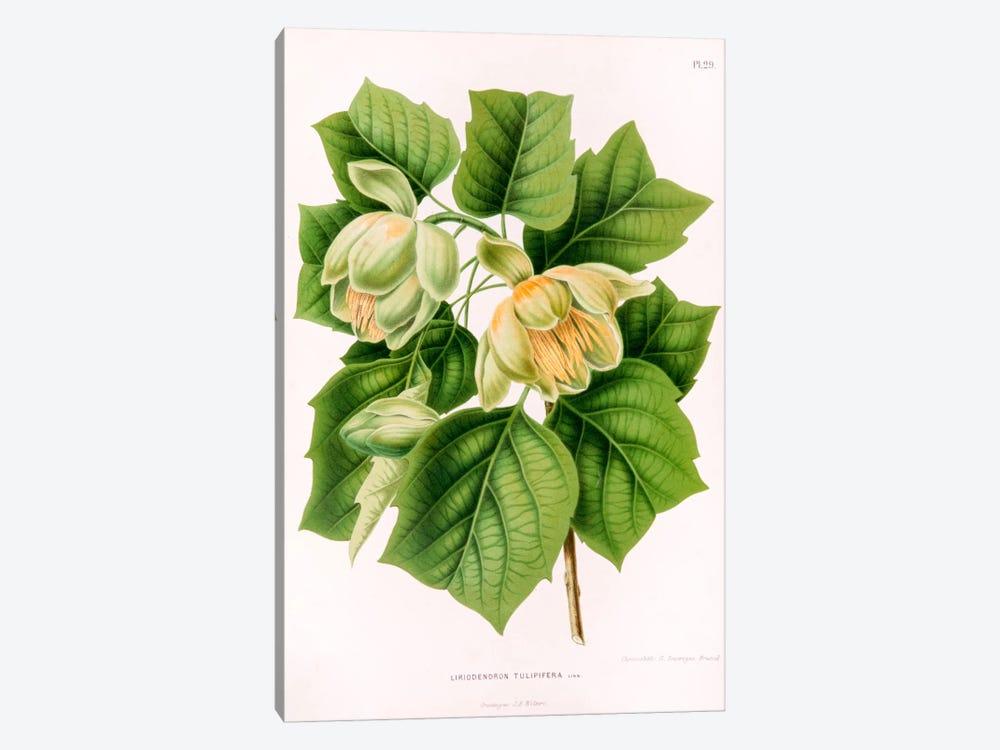 Liriodedron Tulipifera (Tulip Tree) by Abraham Jacobus Wendel 1-piece Canvas Art Print