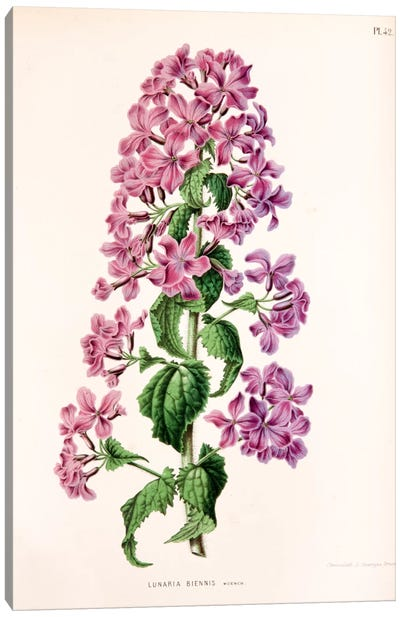 Lunaria Biennis (Biennial Honesty) Canvas Art Print