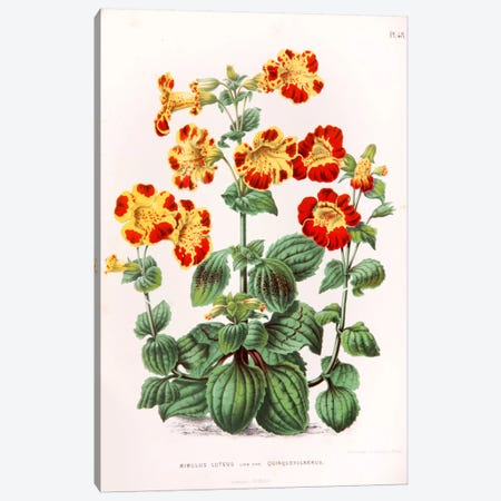 Mimulus Luteus (Monkey Musk) Canvas Print #AJW17} by Abraham Jacobus Wendel Canvas Artwork