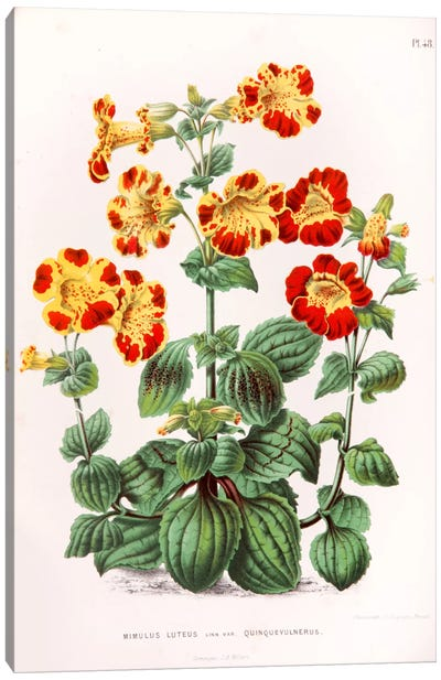 Mimulus Luteus (Monkey Musk) Canvas Art Print