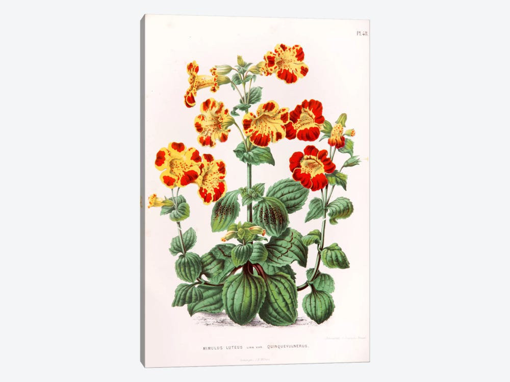 Mimulus Luteus (Monkey Musk) by Abraham Jacobus Wendel 1-piece Art Print