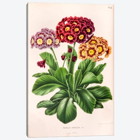 Primula Auricula (Bear's Ear) Canvas Print #AJW18} by Abraham Jacobus Wendel Canvas Art Print