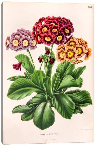 Primula Auricula (Bear's Ear) Canvas Art Print