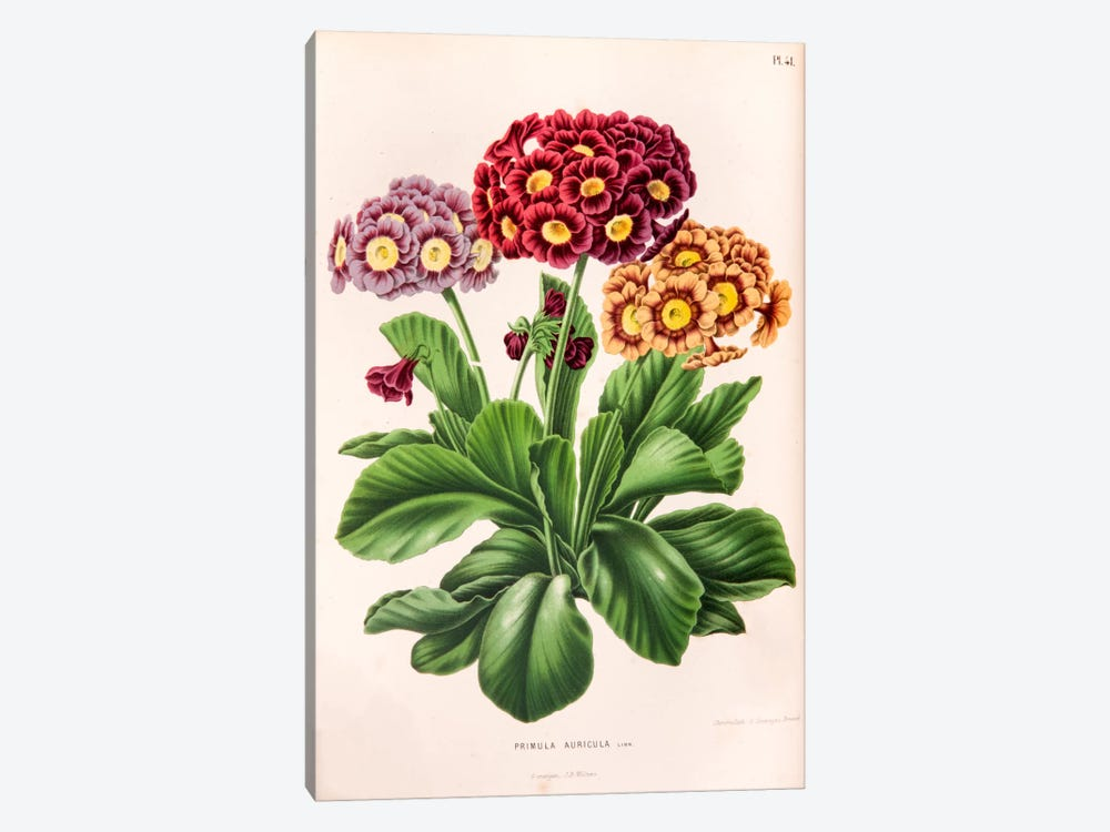 Primula Auricula (Bear's Ear) by Abraham Jacobus Wendel 1-piece Canvas Artwork