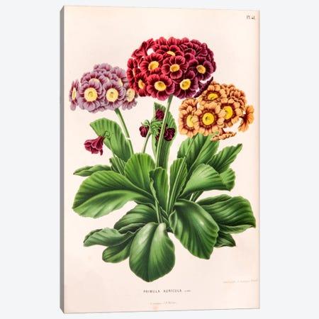 Primula Auricula (Bear's Ear) Canvas Print #AJW18} by Abraham Jacobus Wendel Canvas Art Print