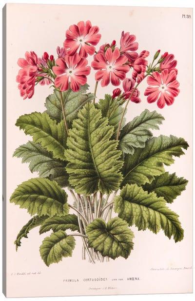 Primula Cortusoides (Cortusa Primrose) Canvas Art Print
