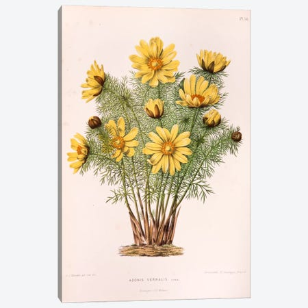 Adonis Vernalis (Pheasant's Eye) Canvas Print #AJW1} by Abraham Jacobus Wendel Canvas Wall Art