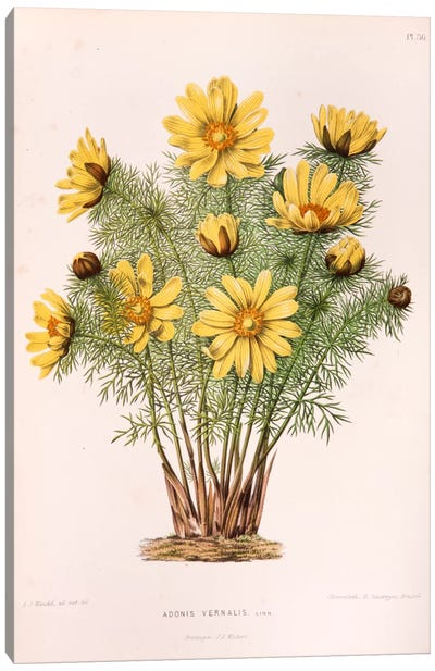 Adonis Vernalis (Pheasant's Eye) Canvas Art Print