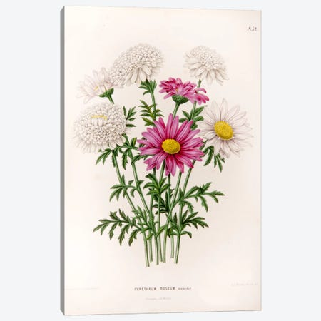 Pyrethrum Roseum (Painted Daisy) Canvas Print #AJW20} by Abraham Jacobus Wendel Canvas Art