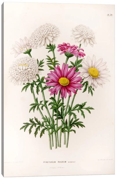 Pyrethrum Roseum (Painted Daisy) Canvas Art Print
