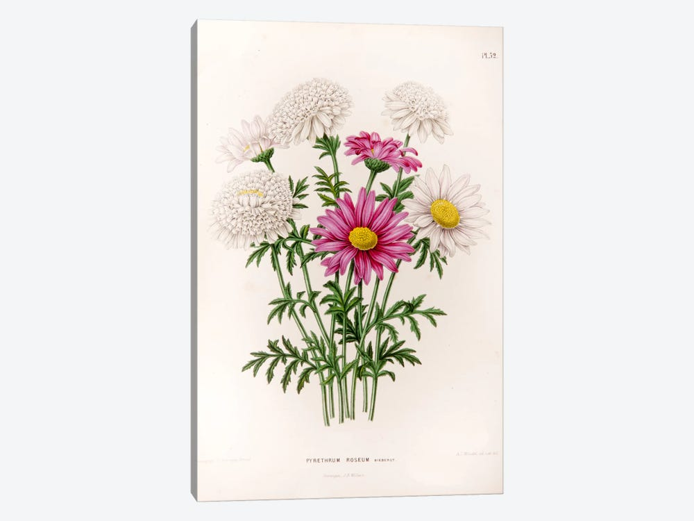 Pyrethrum Roseum (Painted Daisy) by Abraham Jacobus Wendel 1-piece Canvas Art Print
