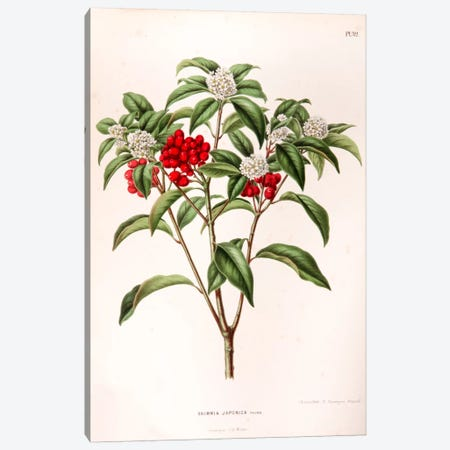 Skimmia Japonica Canvas Print #AJW21} by Abraham Jacobus Wendel Canvas Art