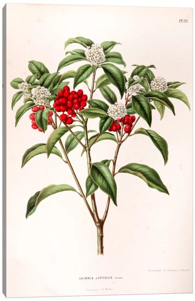 Skimmia Japonica Canvas Art Print