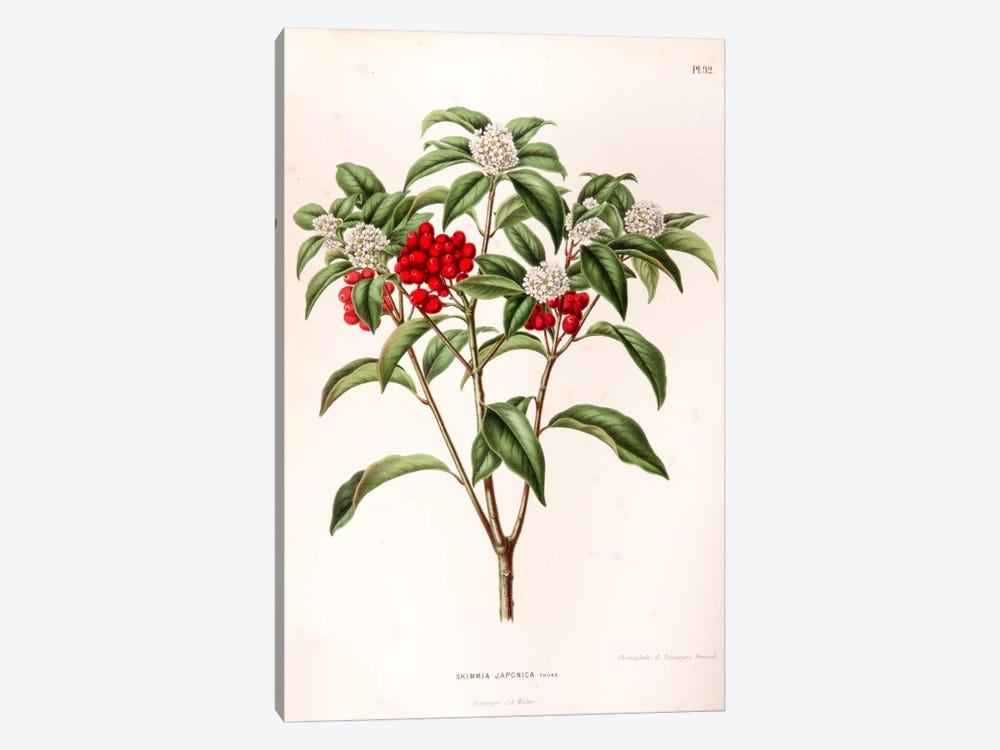 Skimmia Japonica by Abraham Jacobus Wendel 1-piece Canvas Art