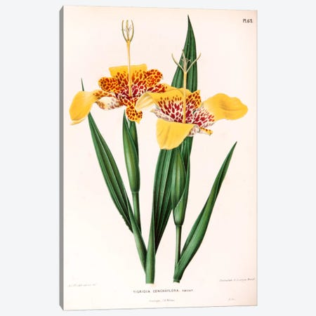 Tigridia Conchiiflora (Tiger Flower) Canvas Print #AJW22} by Abraham Jacobus Wendel Canvas Art