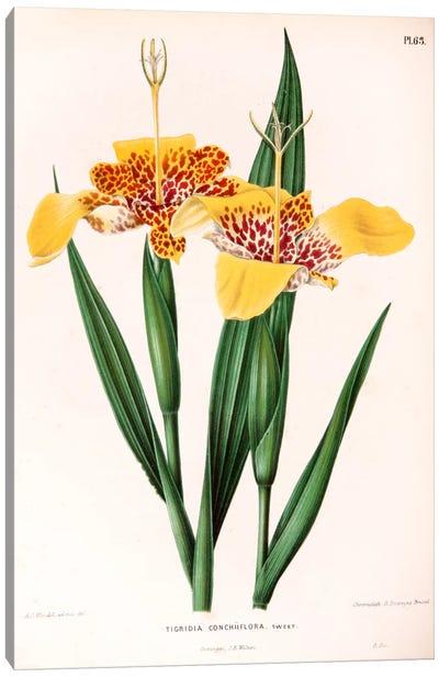 Tigridia Conchiiflora (Tiger Flower) Canvas Art Print