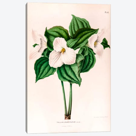 Trillium Grandiflorum (Great White Trillium) Canvas Print #AJW23} by Abraham Jacobus Wendel Canvas Art