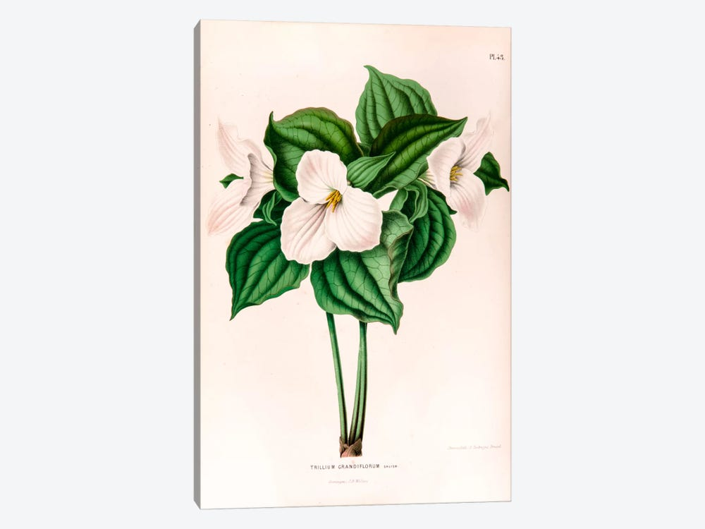 Trillium Grandiflorum (Great White Trillium) by Abraham Jacobus Wendel 1-piece Canvas Wall Art