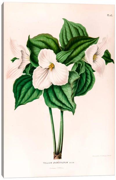 Trillium Grandiflorum (Great White Trillium) Canvas Art Print