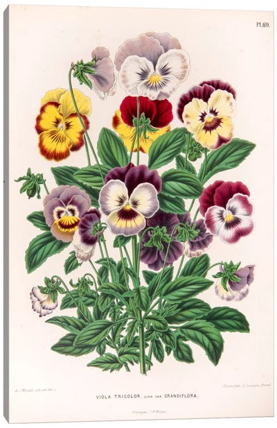 Viola Tricolor (Love-In-Idleness) Canvas Art Print
