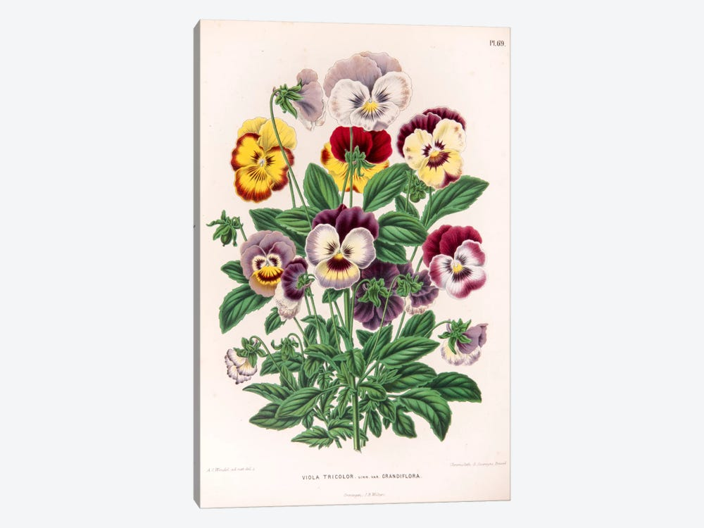Viola Tricolor (Love-In-Idleness) by Abraham Jacobus Wendel 1-piece Canvas Art Print