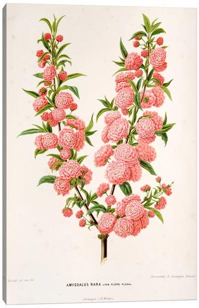 Witte's Dutch Garden Flora Series: Amygdalus Nana (Dwarf Russian Almond) Canvas Print #AJW2