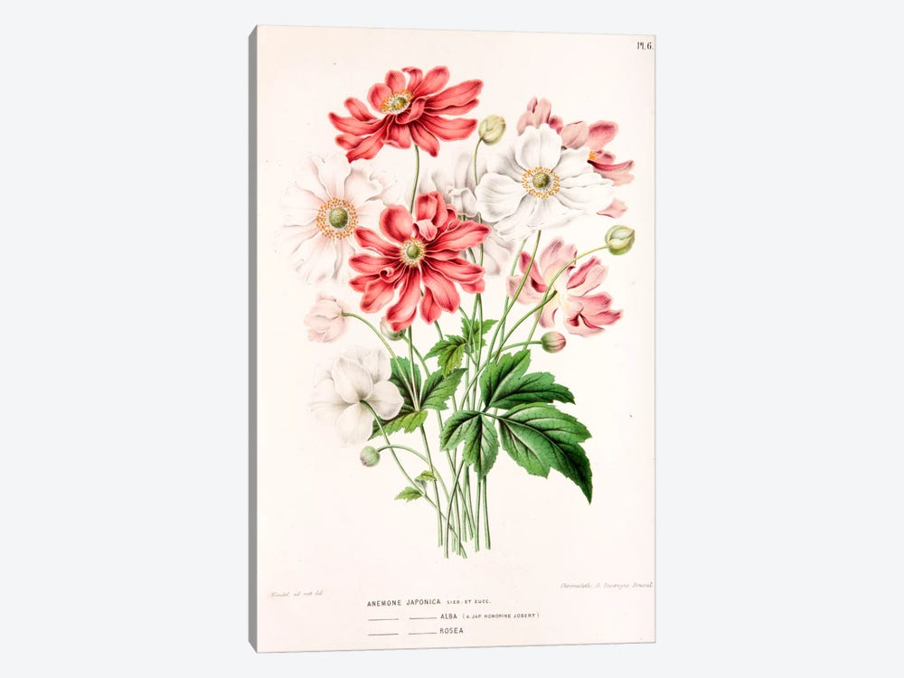 Anemone Japonica by Abraham Jacobus Wendel 1-piece Art Print
