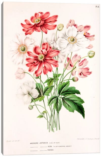 Anemone Japonica Canvas Art Print