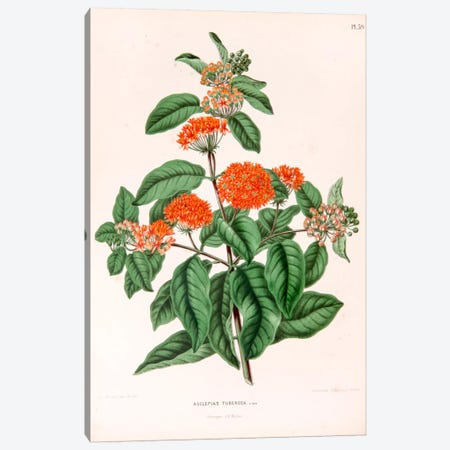 Asclepias Tuberosa (Butterfly Weed) Canvas Print #AJW4} by Abraham Jacobus Wendel Canvas Art Print