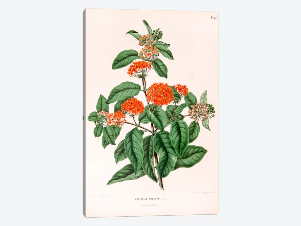 Asclepias Tuberosa (Butterfly Weed) by Abraham Jacobus Wendel 1-piece Canvas Art