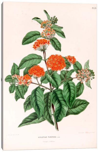 Asclepias Tuberosa (Butterfly Weed) Canvas Art Print