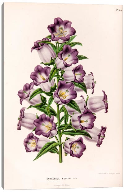 Campanula Medium (Canterbury Bells) Canvas Art Print