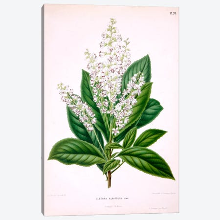 Clethra Alnifolia (Coastal Sweetpepperbush) Canvas Print #AJW6} by Abraham Jacobus Wendel Canvas Art Print