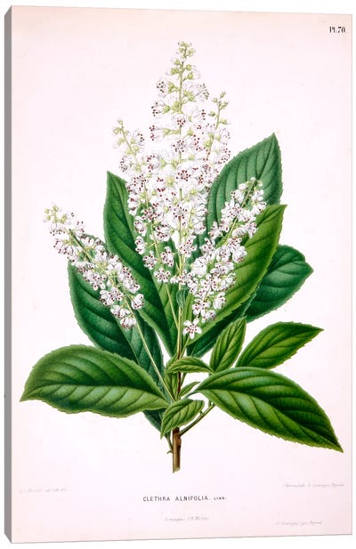 Clethra Alnifolia (Coastal Sweetpepperbush) Canvas Art Print