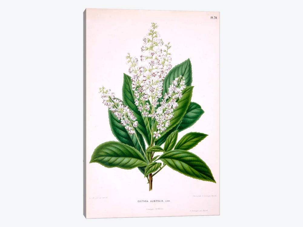 Clethra Alnifolia (Coastal Sweetpepperbush) by Abraham Jacobus Wendel 1-piece Canvas Wall Art