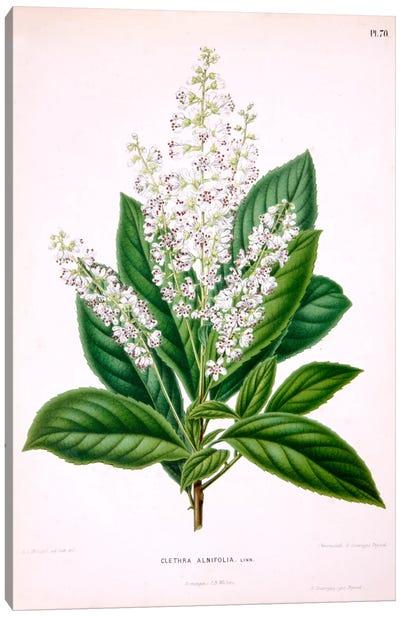 Clethra Alnifolia (Coastal Sweetpepperbush) Canvas Art Print