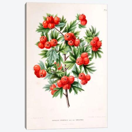 Crataegus Orientalis (Oriental Hawthorn) Canvas Print #AJW7} by Abraham Jacobus Wendel Art Print