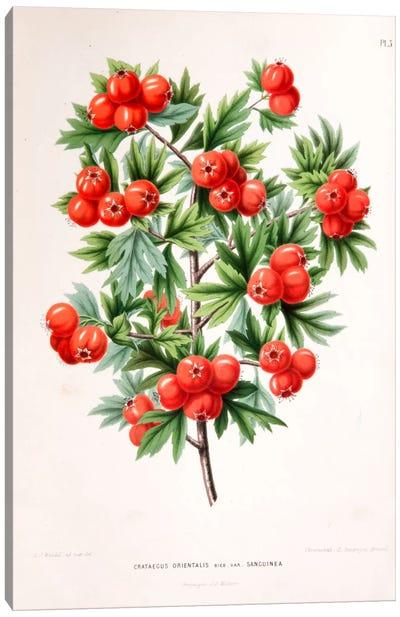 Crataegus Orientalis (Oriental Hawthorn) Canvas Art Print