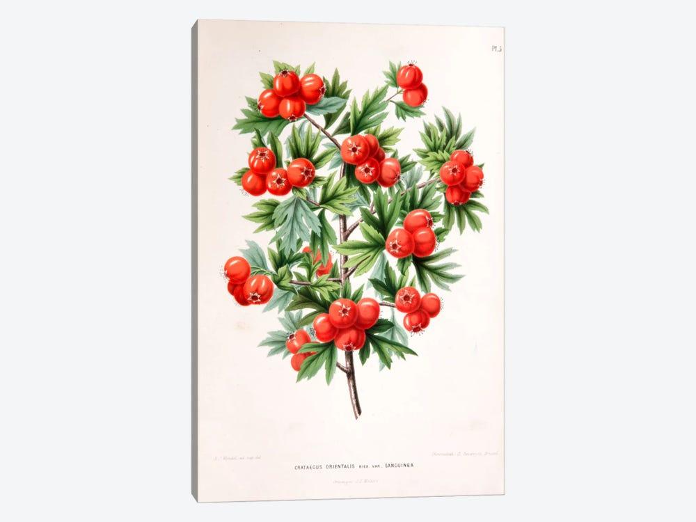 Crataegus Orientalis (Oriental Hawthorn) by Abraham Jacobus Wendel 1-piece Canvas Art Print