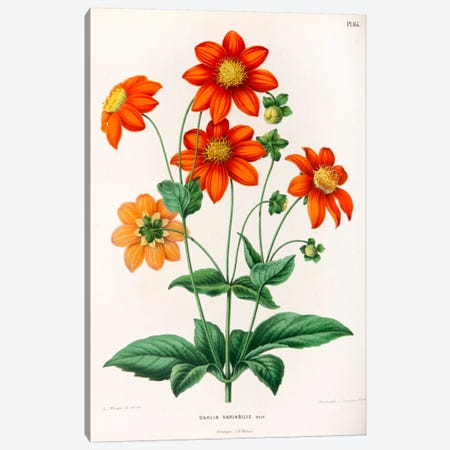 Dahlia Variabilis Canvas Print #AJW8} by Abraham Jacobus Wendel Canvas Art