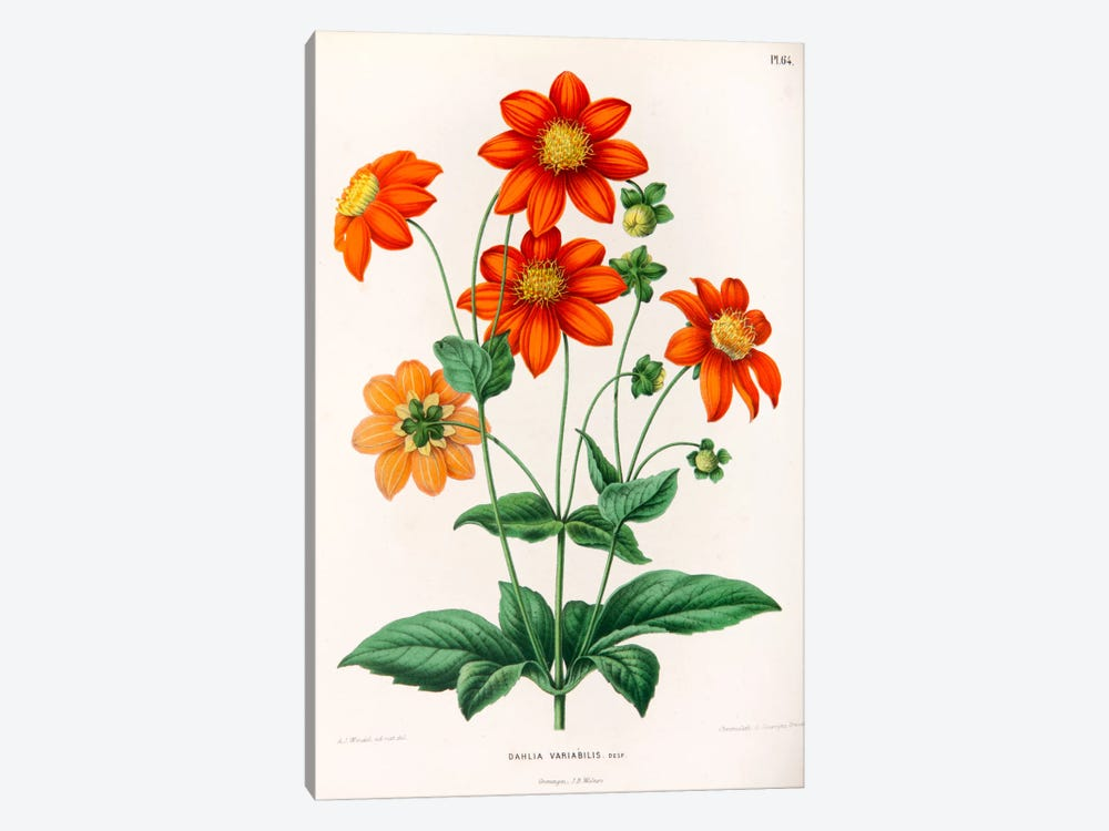 Dahlia Variabilis by Abraham Jacobus Wendel 1-piece Canvas Wall Art