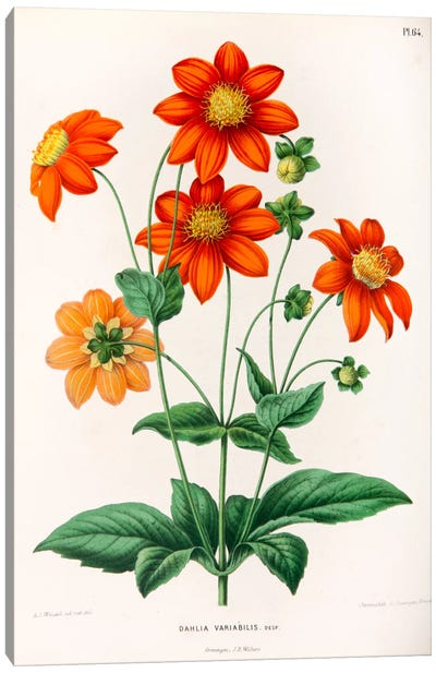 Dahlia Variabilis Canvas Art Print