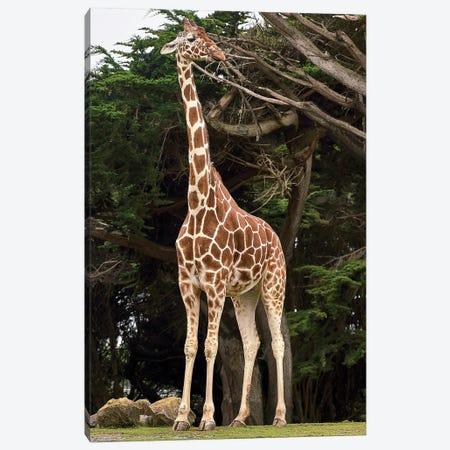 Giraffe I Canvas Print #AKM304} by Nikita Abakumov Canvas Art