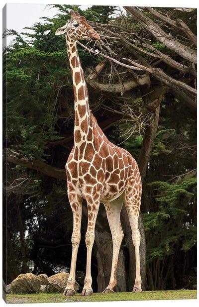 Giraffe I Canvas Art Print