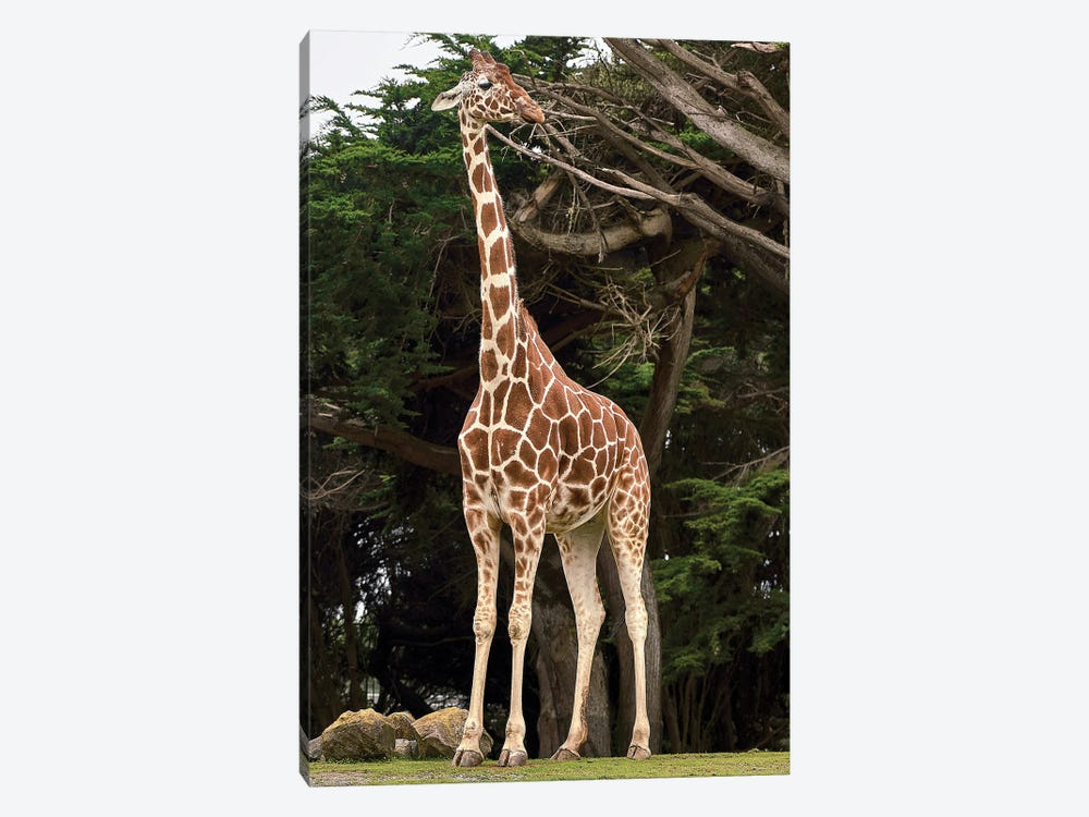 Giraffe I by Nikita Abakumov 1-piece Canvas Art Print