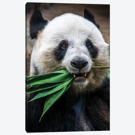 Panda Eats Canvas Print #AKM318} by Nikita Abakumov Canvas Art