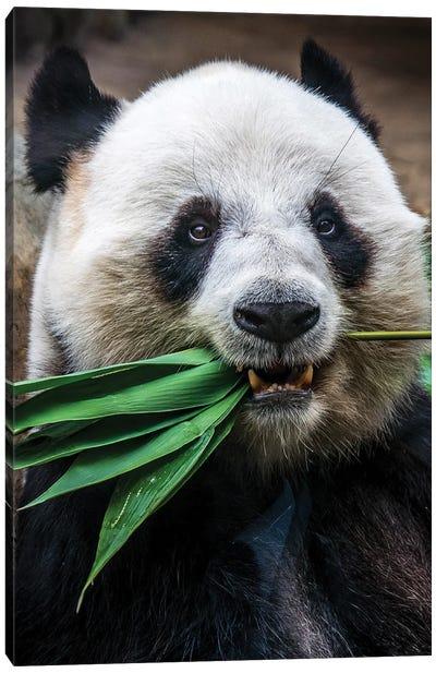 Panda Eats Canvas Art Print