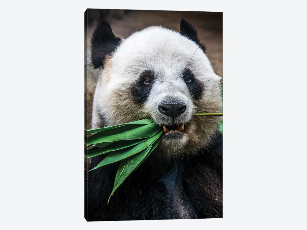 Panda Eats by Nikita Abakumov 1-piece Canvas Art