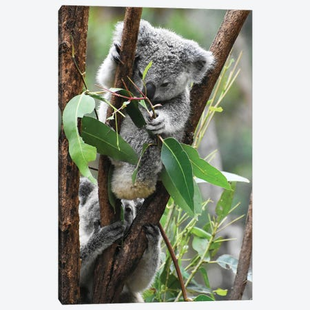 Koala Hanging Canvas Print #AKM323} by Nikita Abakumov Art Print