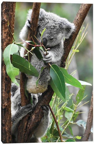 Koala Hanging Canvas Art Print